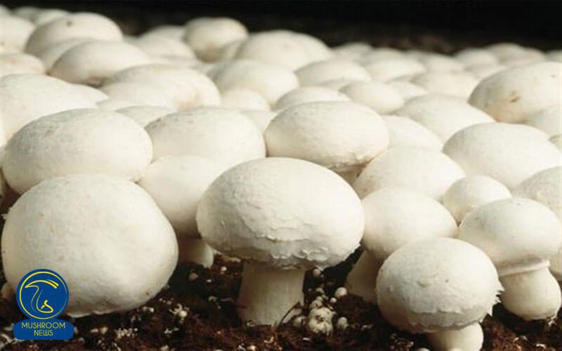 تصویر از روش های کنترل آفات و بیماری ها در مزرعه پرورش قارچ