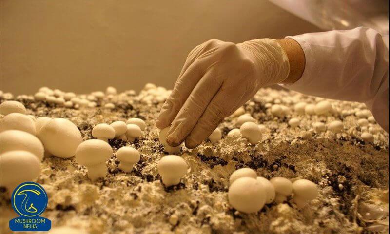 نکات مهم در تولید با کیفیت قارچ