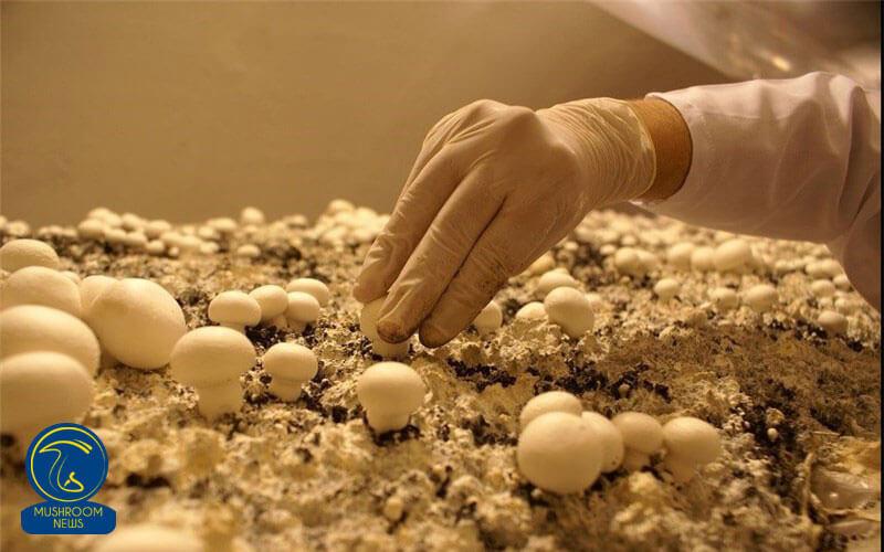 تصویر از نکات مهم در تولید با کیفیت قارچ