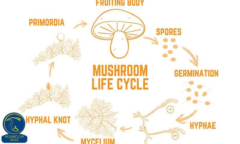 الگوی چرخه زندگی قارچهای خوراکی (بخش دوم)
