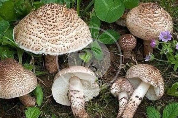 فصل بهار و قارچهای سمی