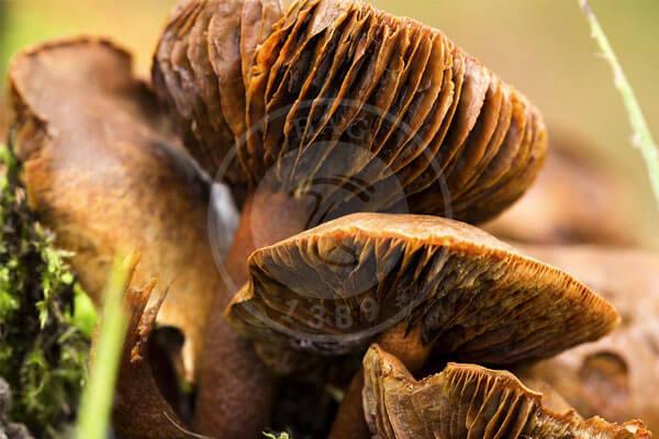 ۶۰ گونه قارچ سمی در طبیعت