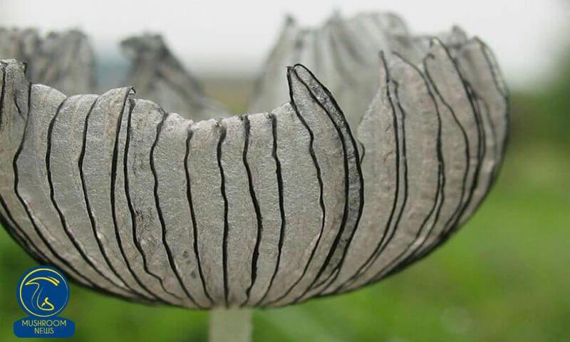 قارچ کپرینوس سینروس