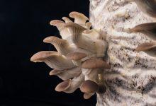 کیفیت هوا در پرورش قارچ صدفی, هاگ