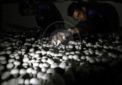 پرورش قارچ خوراکی در قزوین