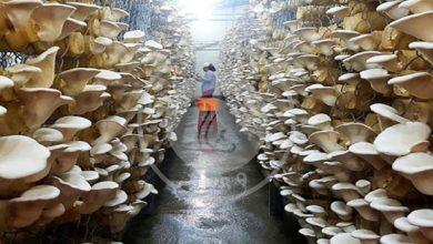 پرورش عملی قارچ خوراکی صدفی, هاگ