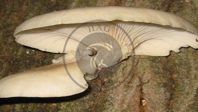 تصویر از اهلی کردن قارچ صدفی Pleurotus spp