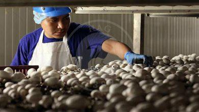تصویر از افزایش عمر انبارمانی قارچ خوراکی دکمه ای