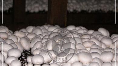 تولید ۱ تن و ۲۰۰ کیلوگرم قارچ در لرستان, هاگ