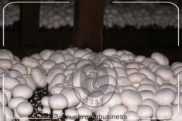 تاثیر کرونا بر بازار کار تولیدکنندگان قارچ در یزد, هاگ