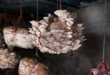 کمپوست قارچ چیست؟ – ساخت آن در منزل, هاگ