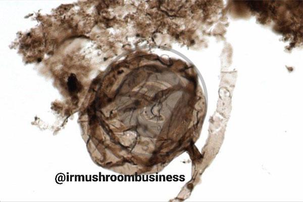️کشف فسیل ۴۰۰ میلیون ساله قارچ در کانادا, هاگ