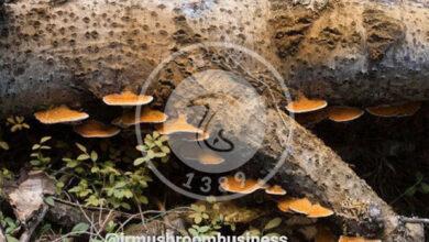 قارچی که برای ساخت آنتیبیوتیکها استفاده میشود, هاگ