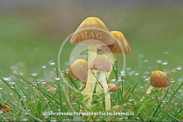 قارچ بولبیتیوس (Bolbitius vitellinus), هاگ