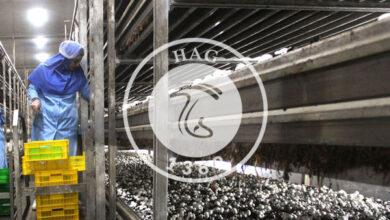 ۱۶۵ هزار تن قارچ خوراکی تا پایان امسال تولید میشود, هاگ
